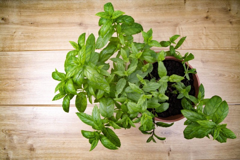 get rid of back pain using peppermint oil