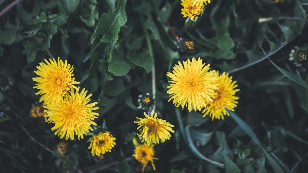 dandelion for removing warts