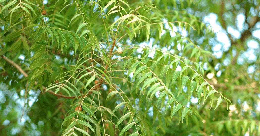 neem for a boil