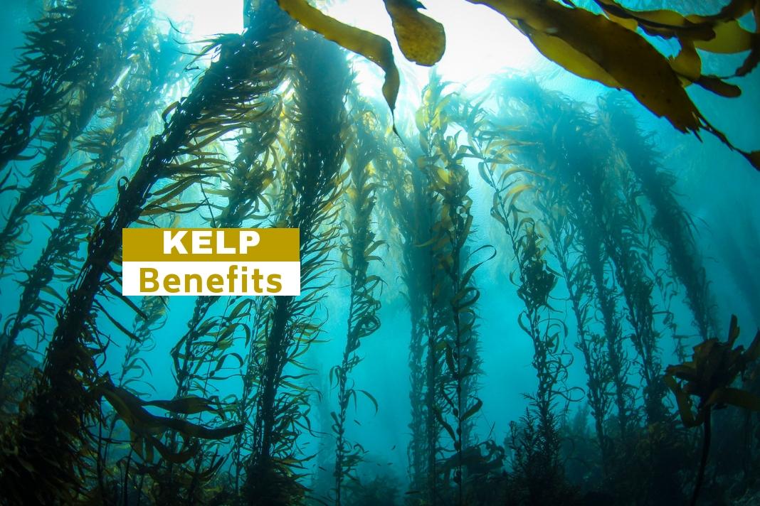kelp benefits