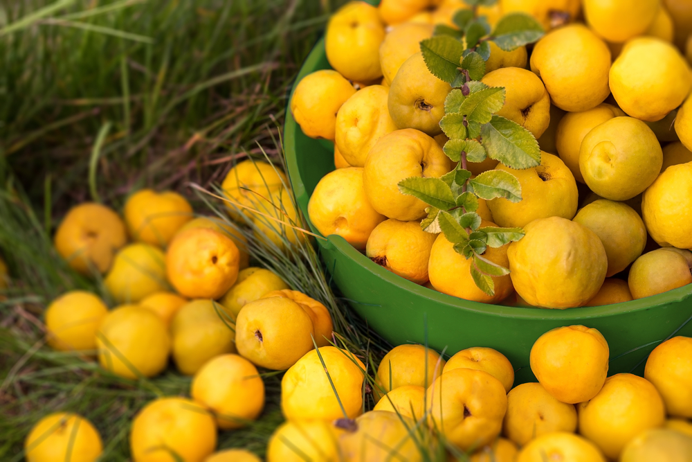 quince fruits and leaves