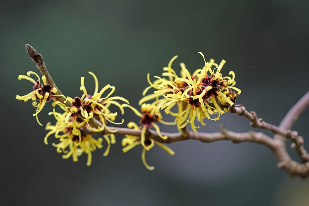 Benefits Of Witch Hazel For Hair How To Cure